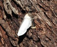 Oenosandra boisduvalii B Autumn Moth. Fem RES JH