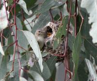 Weebill feeding young at nest.