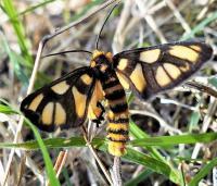 Amata sp. (Erebidae, Arctiinae), Mt Pilot2