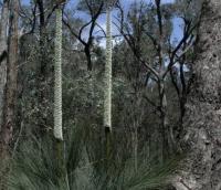 Xanthorrhoea glauca ssp angustifolia Grey GrassTree