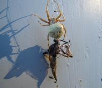 Garden Orb Spider with Robber Fly