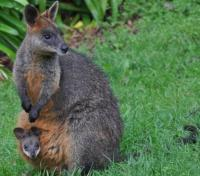 Swamp Wallaby with young