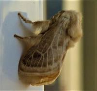 Doratifera pinguis Cup Moth