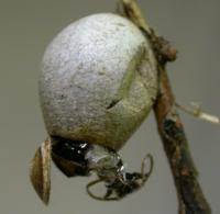 Cup Moth Cocoon Family Limacodidae