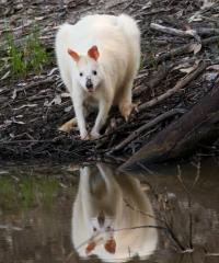 Wallabia bicolor  Albino form.