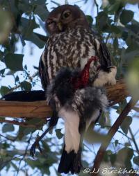 Barking Owl with Magpie prey