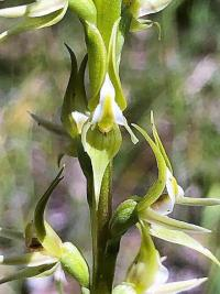 Prasophyllum validum 2 sc J