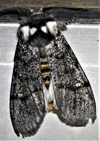 Oenosandra boisduvali Autumn Moth