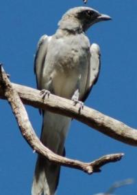 Black-faced Cuckoo-shrike Coracina novaehollandiae Juv
