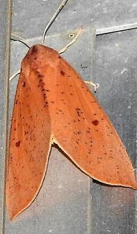 Plesanemma fucata Lemon Gum  Moth