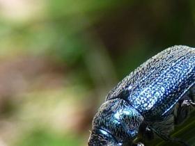 Altica pagana  Metallic Flea Beetle 2