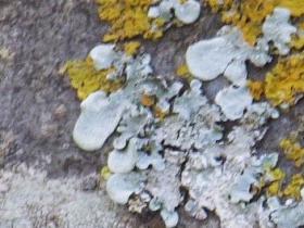 Punctelia sp Speckleback lichen