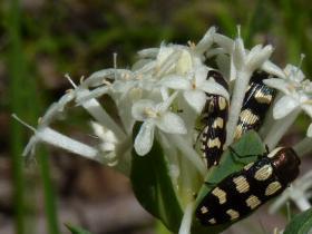 Jewel Beetles  Castiarina sp
