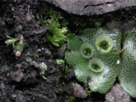 Broad-leafed Marchantia M berteroana