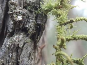 Usnea sp  Beard Lichen