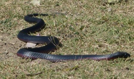 Red-bellied Black Snake Pseudechis porphyriacus
