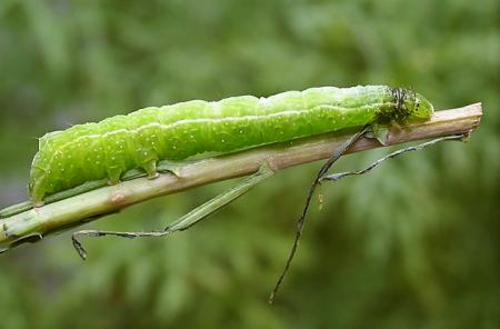 Chrysodeixis argentifera larvae N M