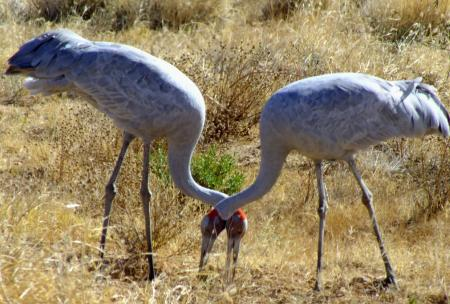 Brolga pair  Grus rubicundus