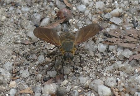 Bee Fly - Comptosia sp. (Bombyliidae)