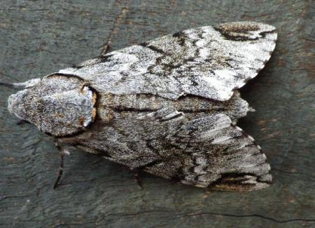 Psilogramma casuarinae PrivetHawk Moth