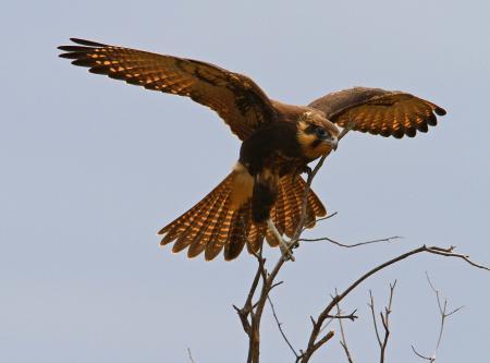 Brown Falcon  Falco berigora