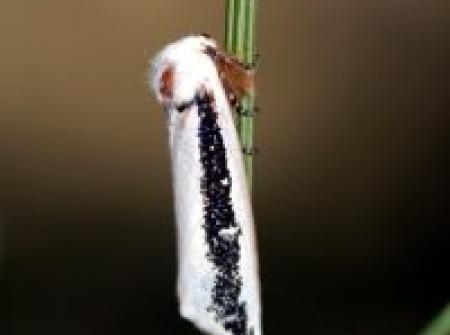 Oenosandra boisduvalii  female. Boisduval's Autumn Moth