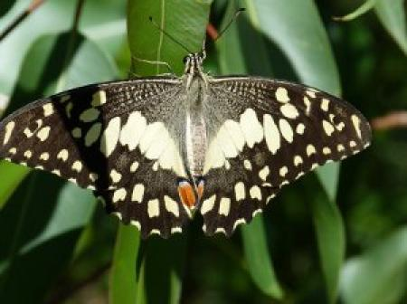 Butterfly  Papilio demoleus