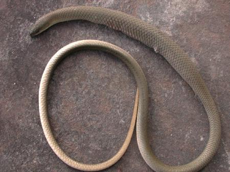 Olive Legless Lizard  Delma inorata