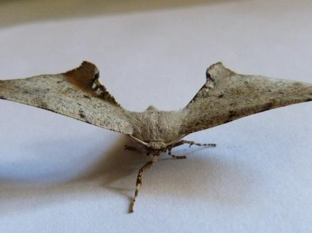 Circoptes obtusata Twisted Moth