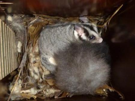 Squirrel Glider  Petaurus norfolcensis