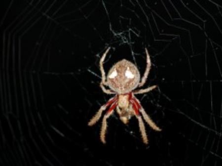 Garden Orb Spider Eriophora biapicata