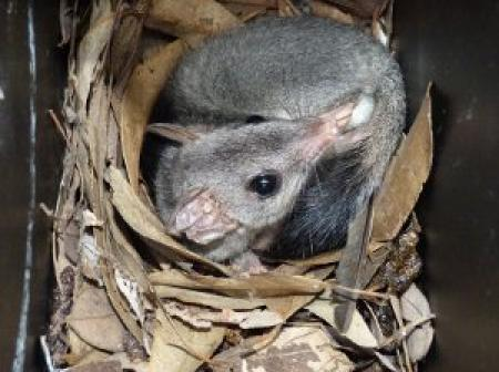 Brush-tailed Phascogale or Tuan  Phascogale tapoatafa