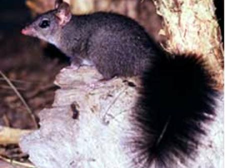 Brush-tailed Phascogale Phascogale tapoatafa