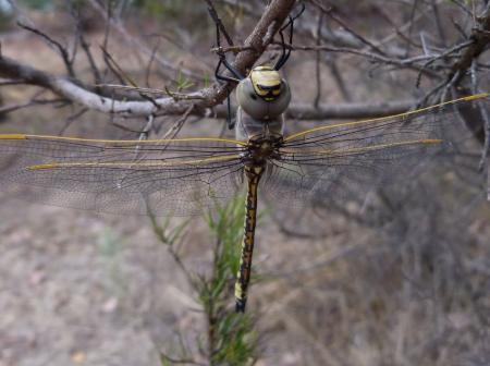 Dragonfly Hemianax papuensis Australian Emperor
