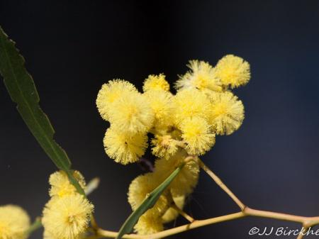 Acacia pycnantha Golden Wattle