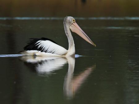 Australian Pelican  Pelecanus conspicillatus