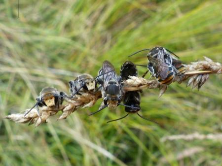 Austronomia australic Native bees