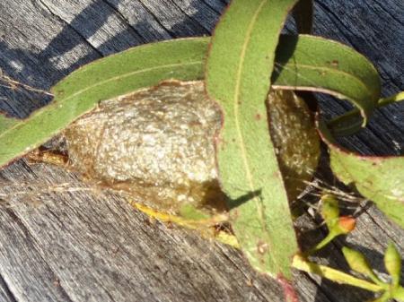 Opodiphthera eucalypti Emperor Gum Moth Cocoon