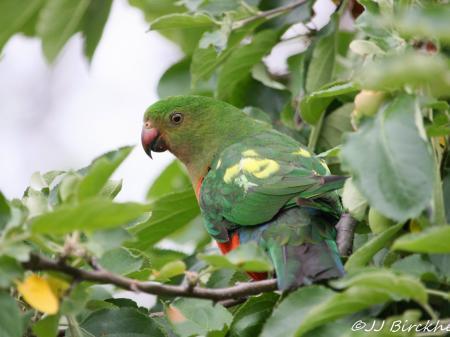 Australian King Parrot   Alisterus scapularis female