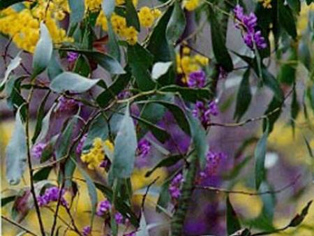 Acacia pycnantha with Hardenbergia violaceae