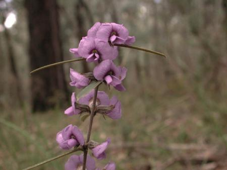Hovea linearis Common Hovea