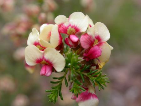 Dillwynia phyllicoides Cream and pink form