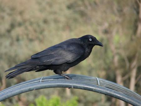 Little Raven  Corvis mellori