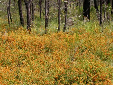 Profusion of peas  Ironbark track