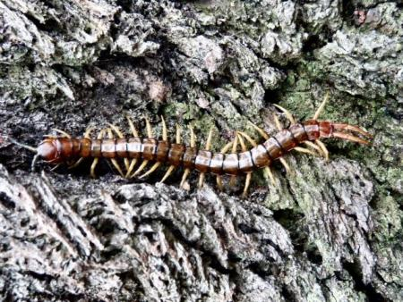 Brown centipede Ethmostigmus rubripes