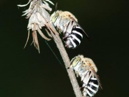 Blue-banded bee Amegilla pulchra