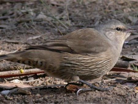 Brown Treecreeper  Climateris picumnus