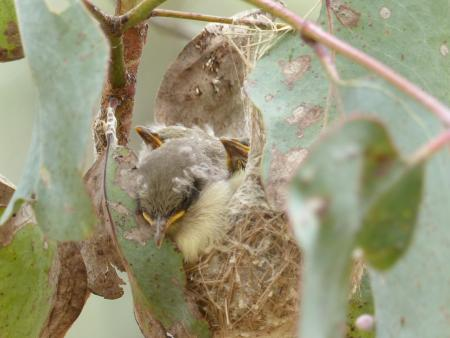 Fuscous Honeyeater young in nest.