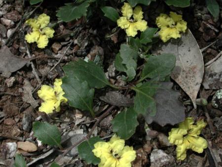 Goodenia hederacea  Ivy Goodenia