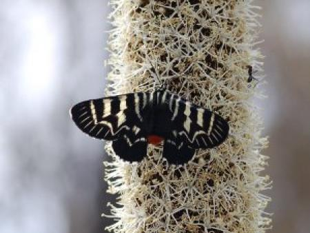 Comocrus behri Mistletoe Moth